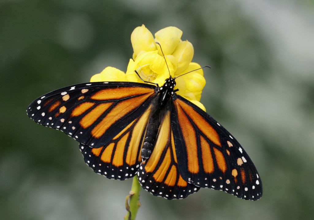 Man Arrested For Carrying Endangered Butterflies In